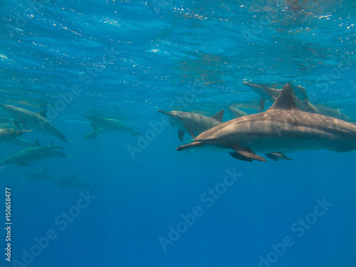 Tuinposter Dolfijn Dolphins in blue clear water