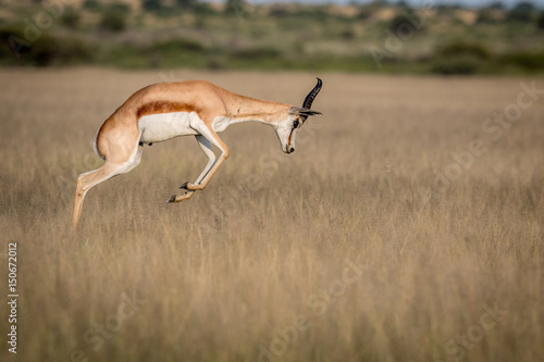 Fotobehang Antilope Springbok pronking in the Central Kalahari.