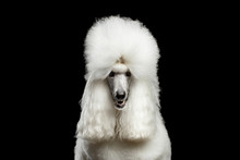 Portrait Of White Royal Poodle...