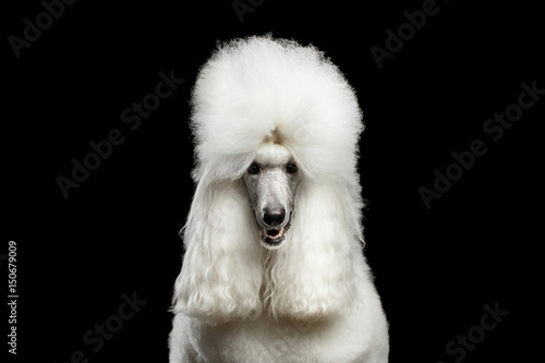 Tableau sur Toile Portrait of White Royal Poodle Dog Looking in Camera Isolated on Black Backgroun