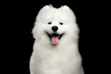 Portrait Of Happy Samoyed Dog Isolated On Black Background, Front View