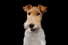 Portrait Of Happy Fox Terrier Dog Looking In Camera And Smiling On Isolated Black Background, Front View