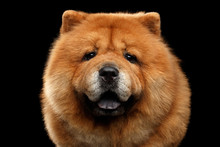 Close-up Portrait Of Chow Chow...