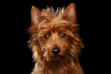 Close-up Portrait Of Cute Aust...