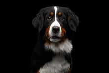 Close-up Portrait Of Bernese M...