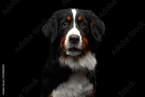 Close-up portrait of Bernese Mountain Dog Curious looking in camera on isolated Canvas-taulu
