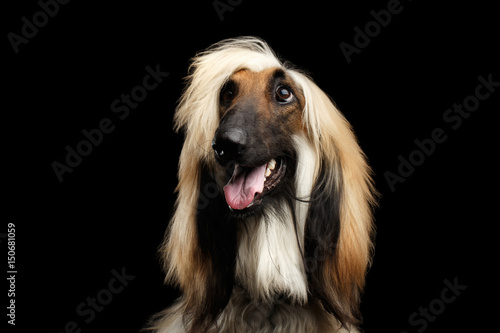 Photo Close-up Headshot of Afghan Hound fawn Dog Happy looking up with grooming hairst