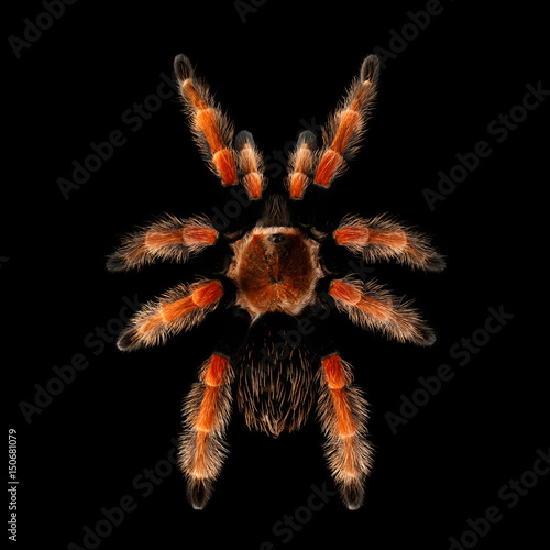 Top view on Big Spider, hairy Red Tarantula brachypelma boehmei isolated Black B Fotobehang