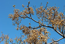 Chinaberry (Melia Azedarach) Fruits Hanging On Tree At Winter
