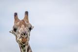 Fototapeta Sawanna - Close up of a Giraffe head.