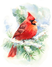 Watercolor Bird Cardinal Winte...