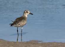 Black Bellied Plover ( Pluvialis Squatarola) Standing In Shallow Water Looking For Blood Worms At Fort Desoto Park Near St. Pete Beach, Florida.