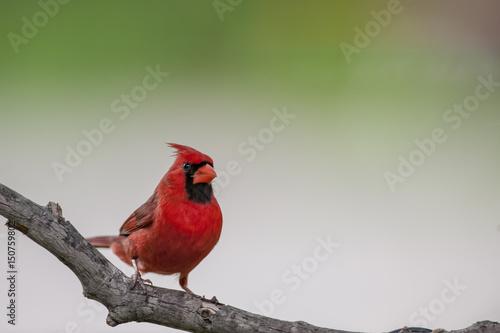 Photo  Male Northern Cardinal
