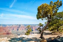 Juniper Tree At Hopi Point In Grand Canyon