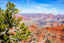 Juniper Tree At Yaki Point - Grand Canyon