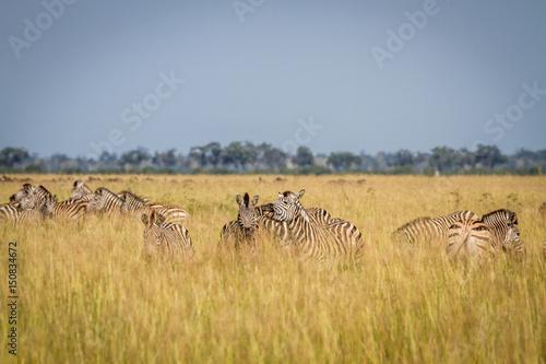 Staande foto Afrika Two Zebras bonding in Chobe.