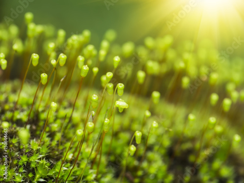 Türaufkleber Makrofotografie Macro photo of Cape Thread-moss, Orthodontium lineare