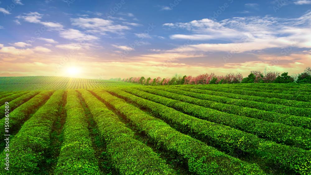 Fototapety, obrazy: Tea plantation.Chinese tea.