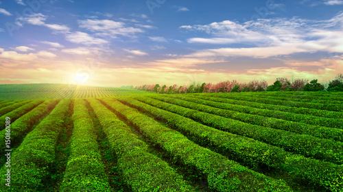 Tea plantation.Chinese tea. Wallpaper Mural