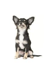 Adult Chihuahua Dog Sitting An...