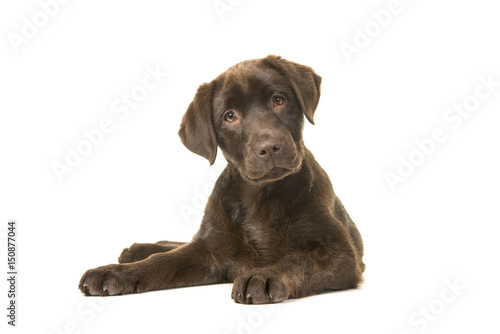 4 months old brown labrador retriever puppy lying down seen from the front, with Canvas Print