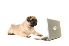 Young Pug Dog Lying On The Floor Looking At A Labtop Isolated On A White Background