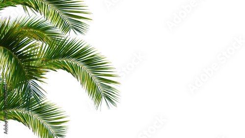 Photo sur Aluminium Palmier palme, palmwedel, palmblätter vor weißem hintergrund