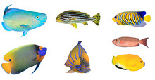 Fish Isolated. Tropical Fish On White Background. Parrotfish, Sweetlips Fish, Angelfishes