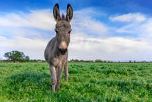 Beautiful Donkey In Green Fiel...