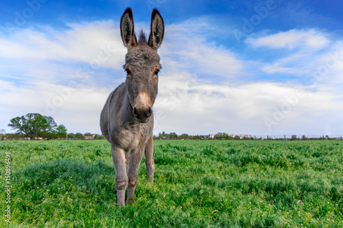 Beautiful donkey in green field with cloudy sky