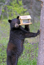 Large Female Black Bear Reaching For Bird Feeder To Feed On Sunflower Seeds.