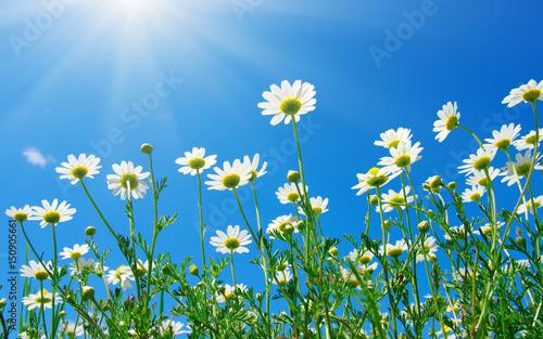 Fototapeta chamomile and sun