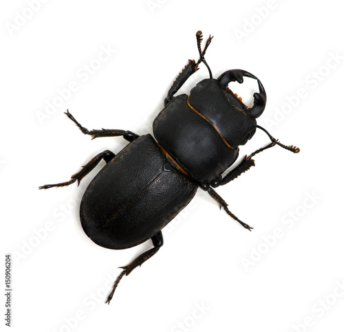 Carta da parati black beetle on white