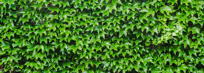 Panel Szklany Ivy leaves texture
