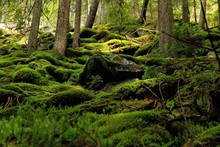 Moss In The Forest Of Carpathi...