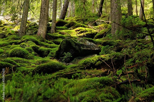 Valokuva Moss in the forest of Carpathians mountains, sunlit