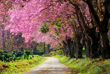 Pink Cherry Blossom In Thailand