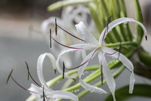 Spider Lily With Drops Of Rain