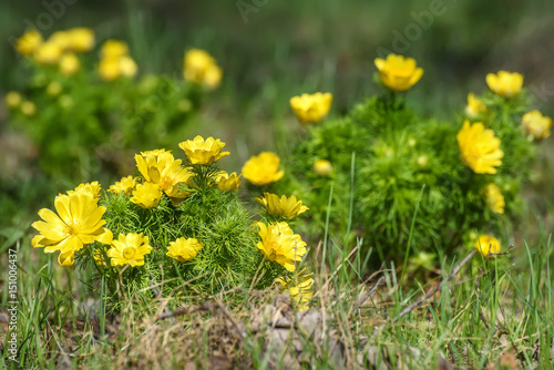 Photo adonis yellow flowers spring grass