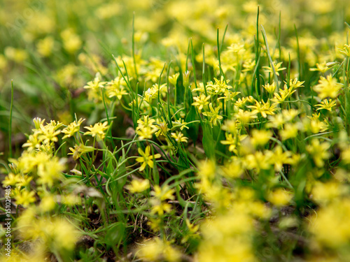 Small yellow flowers in green grass buy this stock photo and small yellow flowers in green grass mightylinksfo