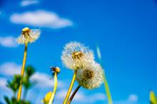Puff Flower In Spring
