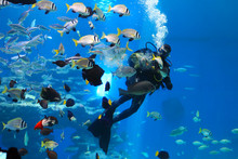 Diver Is Feeding Fishes In The...