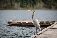 Blue Heron On A Dock