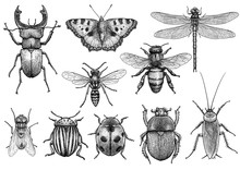 Insect Illustration, Drawing, ...