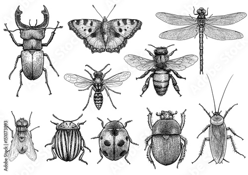 Fototapeta  Insect illustration, drawing, engraving, ink, line art, vector