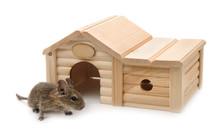 Degu Beside Small Wooden Pet House