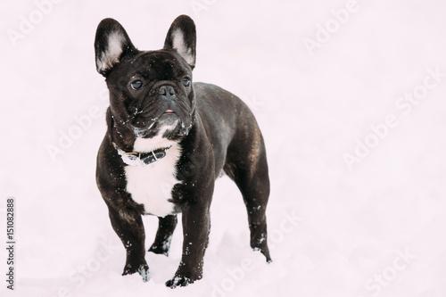Foto op Plexiglas Franse bulldog Black French Bulldog Dog Playing Outdoor In Snow At Winter Day