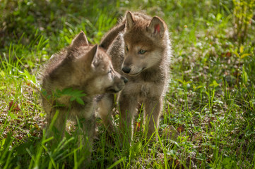 Grey Wolf (Canis lupus) Pups Look at Each Other