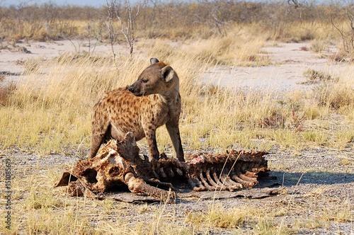 Foto op Aluminium Hyena Giraffe bones eating Hyena in the Etosha National Park