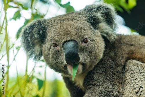 Koala is eating young eucalypt leaf.